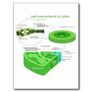 Simplified C4 Photosynthesis Diagram Postcard