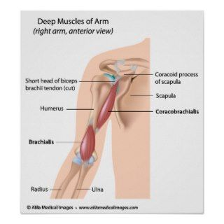 Deep muscles of the arm, labeled diagram. print