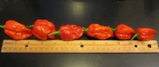 10 Large Fresh Red Savina Habanero Pods Organically Grown Picked The Day U Buy