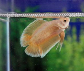 Pure Golden DTPK Double Tail Plakat Male Live Betta Fish Ramsey