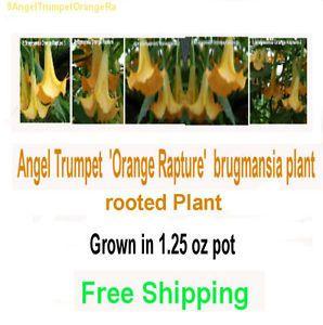 Brugmansia Angel Trumpet Flowers, Trees & Plants