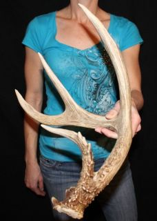 "Great 62"" 4PT Whitetail Shed Antlers Taxidermy Cabin Decor Craft Sheds"