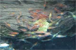 25 2 Live Red Cherry Shrimp Taiwan Moss Fish Aquarium Invert Plant Tank