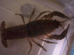 Live Freshwater Crayfish Shrimp Fish Aquarium Pond Tadpole Frog Pet Koi Weird