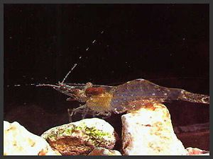 12 Ghost Shrimp Live Food for Fresh Water or Salt Water Fish