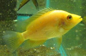 Red Devil Cichlid Cichlids Live Freshwater Aquarium Fish