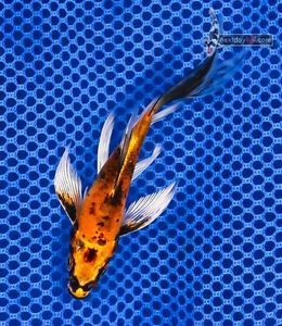 Butterfly koi fish on popscreen for Live koi fish for sale