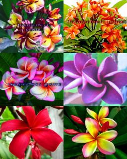 "Plumeria Plants Flowers ""Mixed 6 Type"" Fresh 120 Seeds"