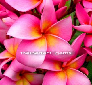 "Plumeria Plants Flowers ""Chompootip"" Fresh 20 Seeds"