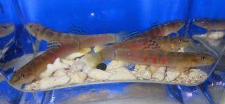 Sumo loach Live Freshwater Aquarium Fish