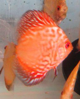 Red Pigeon Blood Discus Live Freshwater Aquarium Fish