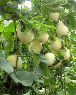 "SD0526 Sweet Whitemelon Seeds White Gourd Seeds Winter ""Wax Gourd"" Seeds"