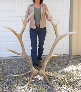 Huge 6x6 Elk Antler Sheds Taxidermy Antlers Whitetail Mule Deer Mount Rack