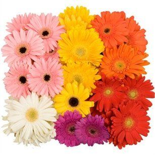 Assorted Mini Gerbera Daisies   140 Stems   Fresh Cut Format Daisy Flowers